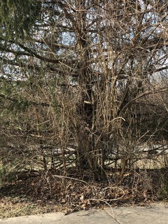 Spruce-honeysuckle shrub
